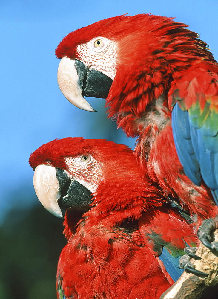 Pair of Green-winged - or Red-and-green Macaws (Ara chloroptera)