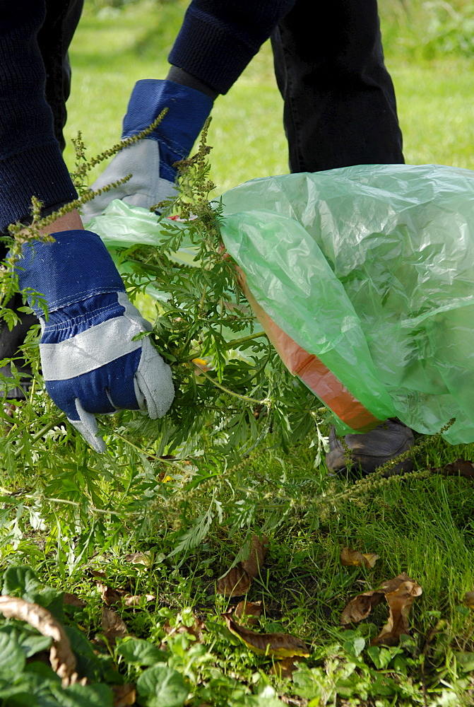 Man destroying Ragweed in the garden