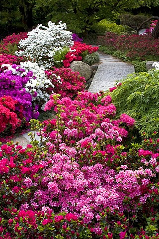 Rhododendrons, Azaleas (Rhododendron spec.) Japanese Garden in the Botanic Garden in Hamburg, Germany, Europe