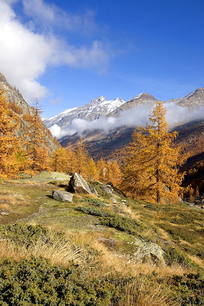 Landscape with larches in autumn, National Park Gran Paradiso, Italy