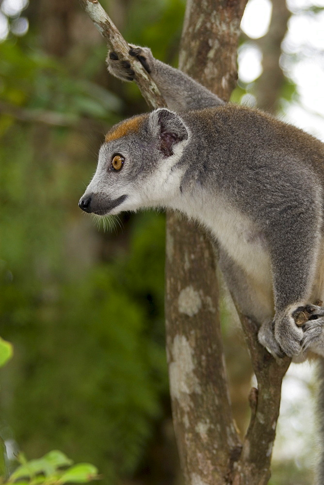 Female Crowned Lemur (Eulemur coronatus), Madagascar, Africa