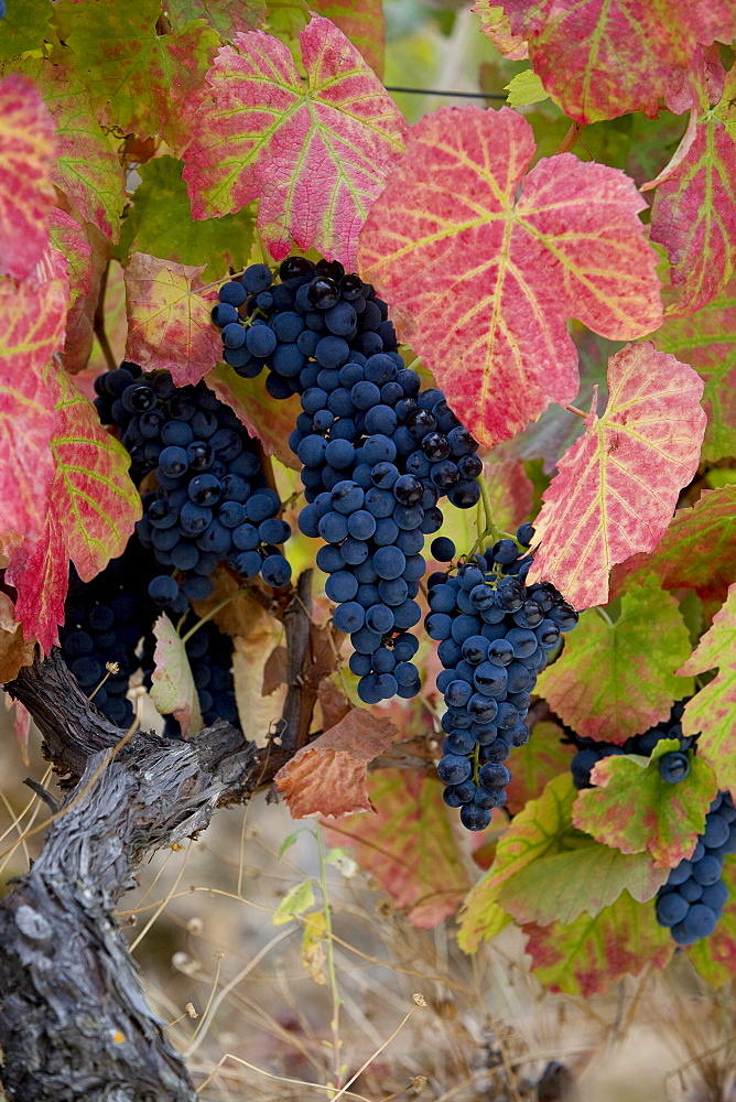 Red grape bunches hanging from the vines of the Oenologist, Rui Madeira, of the CARM and VDS cellars, in the region of the Douro Superior, North Portugal, Portugal, Europe