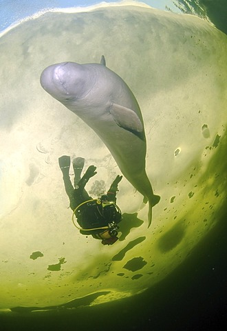 Diver and Beluga, White whale (Delphinapterus leucas), ice-diving, White Sea, north Russia, Arctic