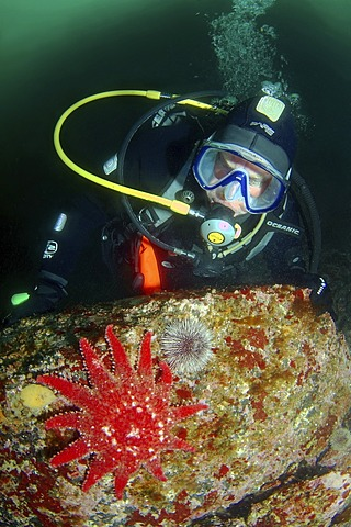 Diver and Common Sunstar (Crossaster papposus), Barents Sea, Russia, Arctic