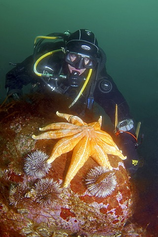 Purple sunstar, Northern sunstar, Smooth sunstar (Solaster endeca), Barents Sea, Russia, Arctic
