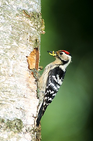 Lesser Spotted Woodpecker (Dendrocopus minor, Picoides minor), male at the nest cavity in a birch tree