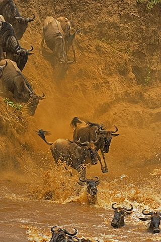Herd of Wildebeest, Wildebai, or Gnu (Connochaetes) crossing the Mara river in Masai Mara, Kenya, Africa