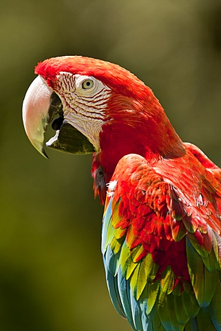 Scarlet Macaw (Ara macao), Schmiding Zoo, Upper Austria, Austria, Europe