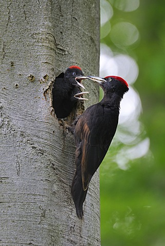 Black Woodpecker (Dryocopus martius) at nest hole in a beech with chicks (Fagus sylvatica), Biosphaerenreservat Schwaebische Alb or Swabian Mountains Biosphere Reserve, UNESCO World Heritage Site, Baden-Wuerttemberg, Germany, Europe