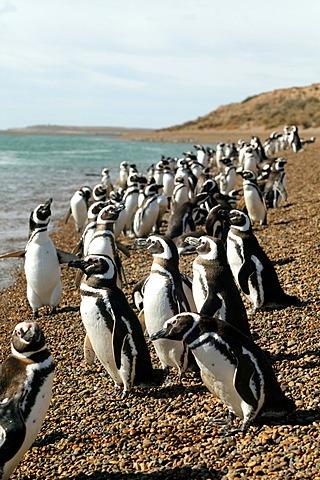 Magellanic penguins (Spheniscus magellanicus), Chubut province, Patagonia, Argentina, South America