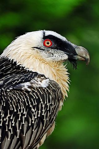 Lammergeier, Lammergeyer, or Bearded Vulture Eagle (Gypaetus barbatus), portrait, captive, North Rhine-Westphalia, Germany, Europe
