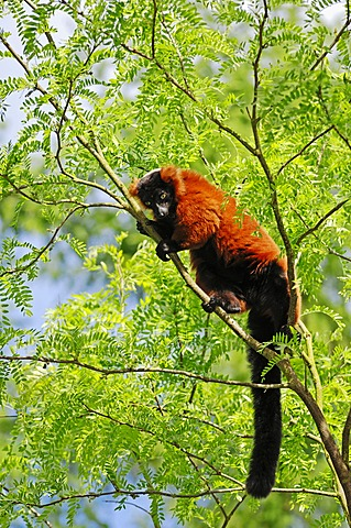 Red Ruffed Lemur (Varecia variegata rubra, Varecia variegata ruber), species of Madagascar, captive, North Rhine-Westphalia, Germany, Europe