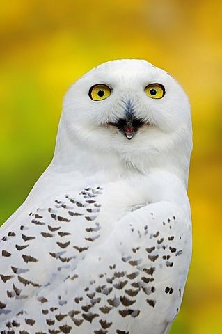 Snowy Owl (Bubo scandiacus, Nyctea scandiaca), female calling, portrait, in captivity, Bergkamen, North Rhine-Westphalia, Germany, Europe