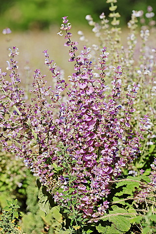 Clary Sage (Salvia sclarea), Provence, Southern France, France, Europe