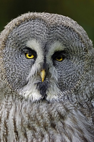 Eurasian Great Grey Owl (Strix nebulosa lapponica), native to Europe and Asia, in captivity, North Rhine-Westphalia, Germany, Europe