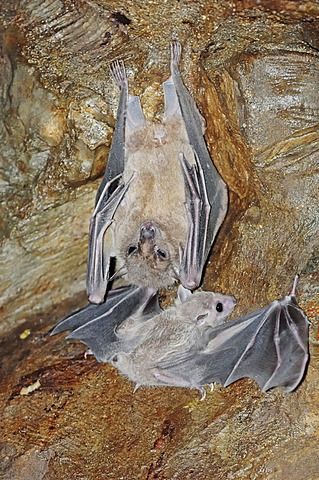 Egyptian Fruit Bat or Egyptian Rousette (Rousettus aegyptiacus) with juvenile, native to Africa and the Arabian peninsula, in captivity, Germany, Europe
