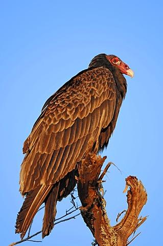 Turkey Vulture (Cathartes aura), Everglades National Park, Florida, USA