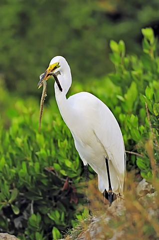 Great Egret or Great White Egret (Casmerodius albus, Egretta alba), with caught American Eel (Anguilla rostrata) in beak, Sanibel Island, Florida, USA