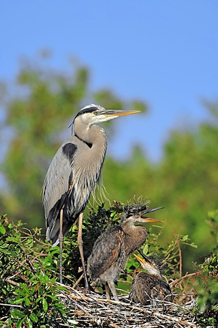 Great Blue Heron (Ardea herodias) with chicks in a nest, Florida, USA