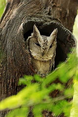 Indian Scops Owl (Otus bakkamoena), Keoladeo Ghana National Park, Rajasthan, India, Asia