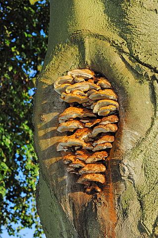 Alder Bracket (Inonotus radiatus) on the trunk of a beech, Gelderland, Netherlands, Europe