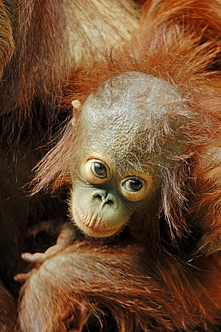 Bornean Orangutan (Pongo pygmaeus), young in the arms of its mother, species of Borneo, Asia, captive, The Netherlands, Europe