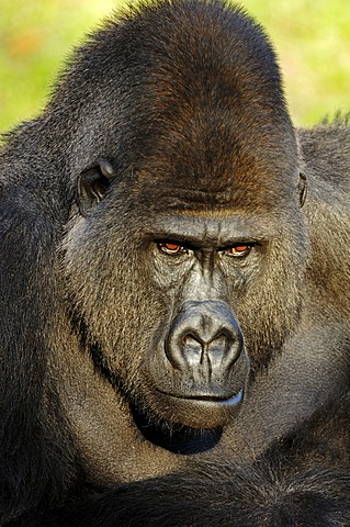 Western Lowland Gorilla (Gorilla gorilla gorilla), male, silverback, African species, captive, Florida, USA