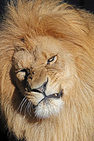 Lion (Panthera leo), male, African species, captive, The Netherlands, Europe