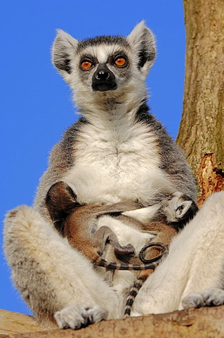 Ring-tailed lemurs (Lemur catta), female with four-day-old infants, found in Madagascar, captive, Netherlands, Europe