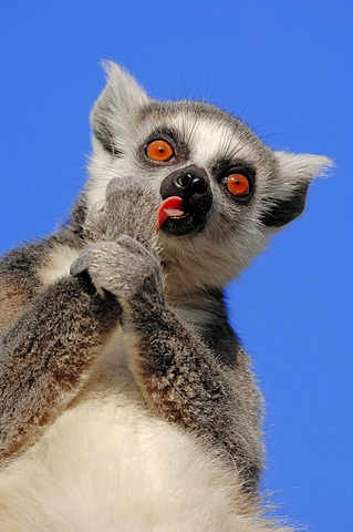 Ring-tailed lemur (Lemur catta), female grooming, found in Madagascar, captive, Netherlands, Europe