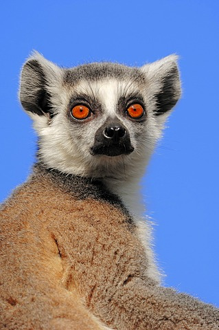 Ring-tailed lemur (Lemur catta), portrait, found in Madagascar, captive, Netherlands, Europe