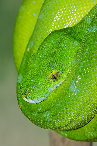 Green tree python (hondropython viridis, Morelia viridis), found in New Guinea and northern Australia, captive, Netherlands, Europe
