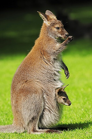Red-necked wallaby (Macropus rufogriseus), doe with joey in pouch, found in Australia, captive, North Rhine-Westphalia, Germany, Europe