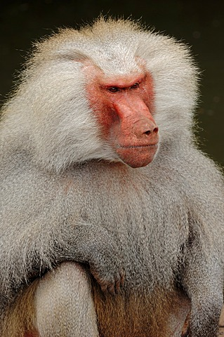 Hamadryas baboon (Papio hamadryas, Papio hamadryas hamadryas, Cynocephalus hamadryas), male, found in Africa and on the Arabian peninsula, captive, Germany, Europe
