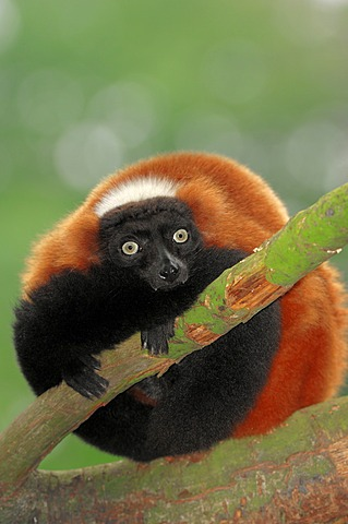 Red-ruffed lemur (Varecia variegata rubra), found in Madagascar, captive, Germany, Europe