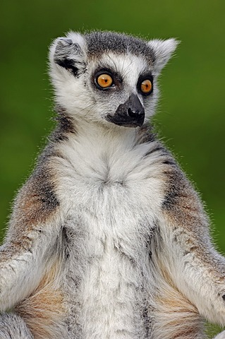 Ring-tailed lemur (Lemur catta), found in Madagascar, Africa, captive, Germany, Europe