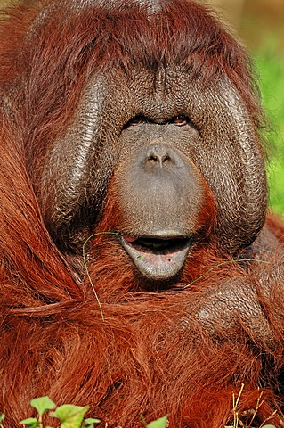 Bornean orangutan (Pongo pygmaeus), male, portrait, found in Borneo, Asia, captive, Germany, Europe