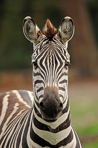 Grant's zebra (Equus quagga boehmi, Equus burchellii boehmi), portrait, found in Africa, captive, Germany, Europe