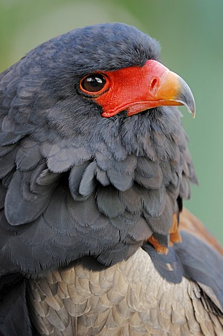 Bateleur (Terathopius ecaudatus), portrait, found in Africa, captive, Germany, Europe