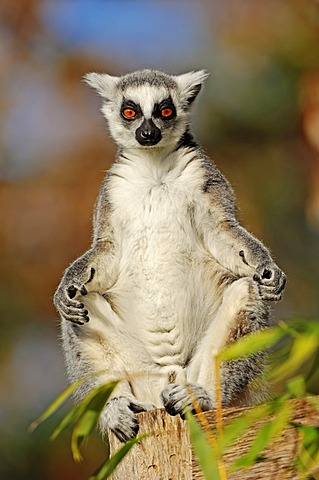 Ring-tailed Lemur (Lemur catta), native to Madagascar, Africa, in captivity, Germany, Europe