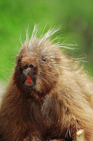 North American Porcupine (Erethizon dorsatum), portrait, native to North America, in captivity, Germany, Europe