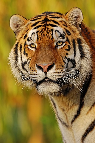 Siberian Tiger or Amur Tiger (Panthera tigris altaica), portrait, native to Asia, in captivity, Germany, Europe