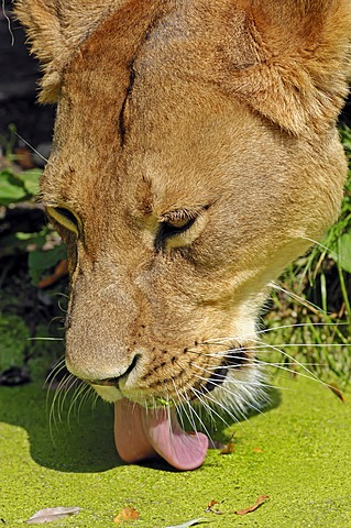 African Lion (Panthera leo), lioness drinking, portrait, native to Africa, in captivity, Netherlands, Europe