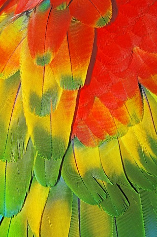 Harlequin Macaw (Ara macao x Ara chloroptera), a hybrid between a Scarlet Macaw and a Green-winged Macaw, plumage detail, native to South America, in captivity, Netherlands, Europe