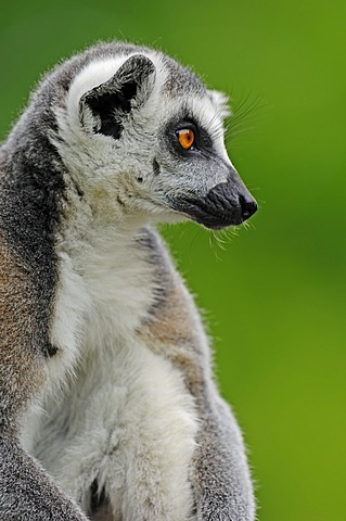Ring-tailed Lemur (Lemur catta), portrait, native to Madagascar, in captivity, Netherlands, Europe