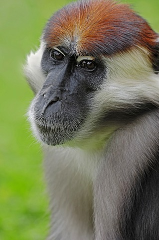 Red-capped Mangabey, Cherry Crowned Mangabey or White-collared Mangabey (Cercocebus torquatus), male, portrait, native to Africa, in captivity, France, Europe