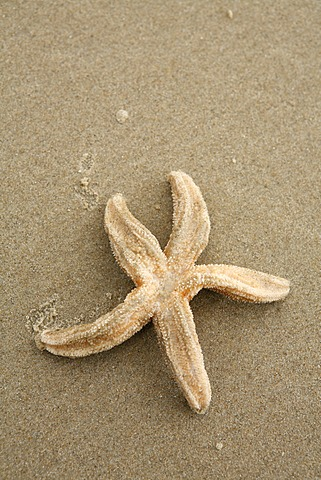 Starfish washed up on the beach, Texel, Netherlands, Netherlands, Europe
