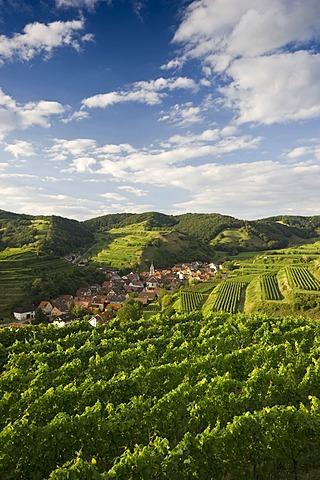 Vineyards near Schelingen, Kaiserstuhl range, Baden-Wuerttemberg, Germany, Europe
