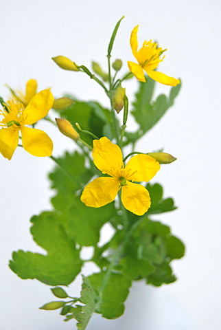 Greater Celandine or Tetterwort (Chelidonium majus), medicinal plant, poisonous plant in a vase