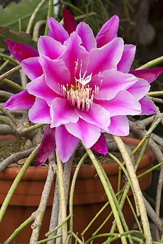 Blossom, epicactus (Epiphyllum Pegasus), Botanical Garden, Bochum, Ruhr area, North Rhine-Westphalia, Germany, Europe